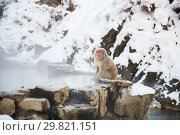Купить «japanese macaque or snow monkey in hot spring», фото № 29821151, снято 8 февраля 2018 г. (c) Syda Productions / Фотобанк Лори