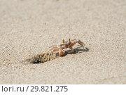 Small sandy ghost crab. Стоковое фото, фотограф Юлия Бабкина / Фотобанк Лори