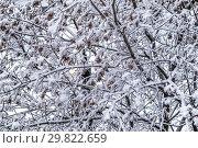 Ветки деревьев, покрытые снегом. Стоковое фото, фотограф Владимир Сергеев / Фотобанк Лори