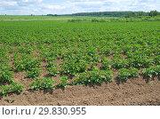 Купить «Картофельное поле летним днем», фото № 29830955, снято 27 июня 2018 г. (c) Елена Коромыслова / Фотобанк Лори