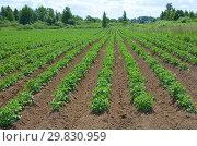Купить «Картофель растет на поле», эксклюзивное фото № 29830959, снято 27 июня 2018 г. (c) Елена Коромыслова / Фотобанк Лори