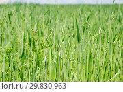 Купить «Зеленый овес растет на поле», фото № 29830963, снято 27 июня 2018 г. (c) Елена Коромыслова / Фотобанк Лори