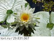 Купить «Водное растение Кувшинка белая (Нимфея), (лат. Nymphaea alba)», эксклюзивное фото № 29831067, снято 6 августа 2015 г. (c) lana1501 / Фотобанк Лори