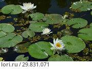Купить «Многолетнее водное растение Кувшинка белая (лат. Nymphaea alba)», эксклюзивное фото № 29831071, снято 6 августа 2015 г. (c) lana1501 / Фотобанк Лори