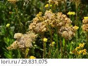 Купить «Бессмертник песчаный, или Цмин песчаный, или Соломенный цвет, или Сухоцвет, или Златоцвет песчаный (лат. Helichrysum arenarium)», эксклюзивное фото № 29831075, снято 6 августа 2015 г. (c) lana1501 / Фотобанк Лори