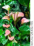 Купить «Цветущий антуриум розовый», фото № 29832155, снято 3 февраля 2018 г. (c) Татьяна Белова / Фотобанк Лори