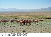 Bactrian camels in mongolian stone desert in Mongolia. (2017 год). Стоковое фото, фотограф Serg Zastavkin / Фотобанк Лори