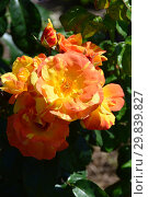 Купить «Роза флорибунда Тинэйшес (Тинейшэс, Fidji, MACblackpo) (лат. Rosa Tenacious). McGredy, Новая Зеландия, 2002», эксклюзивное фото № 29839827, снято 4 августа 2015 г. (c) lana1501 / Фотобанк Лори