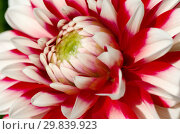Красно-белый георгин (лат. Dаhlia) крупным планом. Стоковое фото, фотограф Елена Коромыслова / Фотобанк Лори