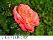 Купить «Роза чайно-гибридная Фрохсинн 82 (Фрозинн, Peccato di Giola, Joyfulness, TANsinnroh), (лат. Rosa Frohsinn). Rosen Tantau, Germany 1982», эксклюзивное фото № 29840031, снято 7 августа 2015 г. (c) lana1501 / Фотобанк Лори
