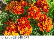 Купить «Бархатцы отклоненные (лат. Tagetes patula) цветут в саду», фото № 29848679, снято 21 августа 2017 г. (c) Елена Коромыслова / Фотобанк Лори