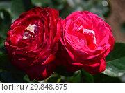 Купить «Роза чайно-гибридная Мадам Леон Кюни (Мадам Леон Куни), (лат. Rosa Madame Leon Cuny, Mme. Leon Cuny). Jean-Marie Gaujard, Франция 1955», эксклюзивное фото № 29848875, снято 7 августа 2015 г. (c) lana1501 / Фотобанк Лори