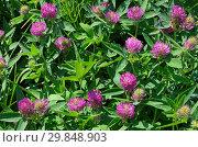 Клевер луговой (лат. Trifolium pratense) Стоковое фото, фотограф Елена Коромыслова / Фотобанк Лори