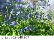 Купить «Голубая лобелия (лат. Lobelia) цветет в саду», фото № 29848907, снято 27 июня 2018 г. (c) Елена Коромыслова / Фотобанк Лори