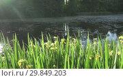 Купить «Iris pseudacorus yellow flag, yellow iris, water flag, lever is a species in the genus Iris, of the family Iridaceae on the bank of the lake in sunny day», видеоролик № 29849203, снято 29 января 2009 г. (c) Куликов Константин / Фотобанк Лори