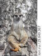 Купить «Любопытный сурикат сидит на пне и смотрит вдаль», фото № 29849367, снято 3 июля 2018 г. (c) Милана Харитонова / Фотобанк Лори