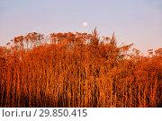 Купить «Сухая осенняя трава в лучах восходящего солнца», фото № 29850415, снято 26 октября 2018 г. (c) Круглов Олег / Фотобанк Лори