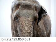 Купить «Портрет цейлонского слона (Elephas maximus maximus Linnaeus) на светлом фоне», фото № 29850651, снято 1 октября 2016 г. (c) Ирина Борсученко / Фотобанк Лори