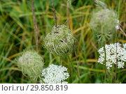 Купить «Соцветия дикой моркови или борщевика золотистого. (Daucus carota) Blossoms of wild carrots.», эксклюзивное фото № 29850819, снято 5 августа 2018 г. (c) Кузин Алексей / Фотобанк Лори