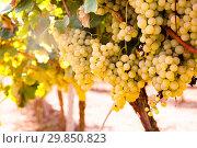Купить «Ripe bunches of green grapes hanging», фото № 29850823, снято 17 февраля 2020 г. (c) Татьяна Яцевич / Фотобанк Лори