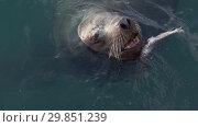 Купить «Сивуч плавает в воде», видеоролик № 29851239, снято 4 февраля 2019 г. (c) А. А. Пирагис / Фотобанк Лори