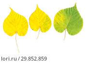 Купить «Желтые осенние листья липы на белом фоне», фото № 29852859, снято 5 июля 2020 г. (c) Дудакова / Фотобанк Лори