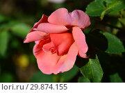 Купить «Роза чайно-гибридная Тип Тойс (Tip Toes). H.C.Brownell (Браунелл). United States (США) 1948», эксклюзивное фото № 29874155, снято 14 августа 2015 г. (c) lana1501 / Фотобанк Лори