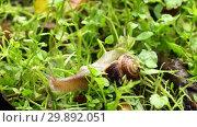 Купить «Садовая улитка», видеоролик № 29892051, снято 22 октября 2018 г. (c) Алексей Букреев / Фотобанк Лори