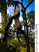 Купить «Portrait of black-and-white ruffed lemur aka Varecia variegata or Vari lemur at the tree, Atsinanana region, Madagascar», фото № 29898019, снято 11 декабря 2018 г. (c) Сергей Майоров / Фотобанк Лори
