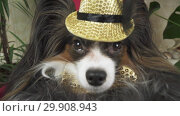Купить «Papillon dog in beautiful suit in a fur coat and a concert hat with a butterfly is removed in the clip stock footage video», видеоролик № 29908943, снято 6 февраля 2019 г. (c) Юлия Машкова / Фотобанк Лори