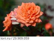 Купить «Миниатюрная роза патио Корэл Свит Дрим (Корал Суит Дримс), (лат. Coral Sweet Dream). Fryer's Roses (Фрайер), Великобритания 2011», эксклюзивное фото № 29909059, снято 17 июля 2015 г. (c) lana1501 / Фотобанк Лори