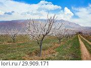 Купить «Apricot farm during sping season against Vayk mountain range, Vayots Dzor Province, Armenia», фото № 29909171, снято 16 марта 2018 г. (c) Papoyan Irina / Фотобанк Лори