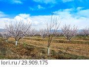 Купить «Apricot farm during sping season against Vayk mountain range, Vayots Dzor Province, Armenia», фото № 29909175, снято 16 марта 2018 г. (c) Papoyan Irina / Фотобанк Лори