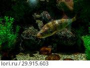 Купить «Big fish in an aquarium in the Vladivostok city oceanarium», фото № 29915603, снято 28 июля 2018 г. (c) Катерина Белякина / Фотобанк Лори