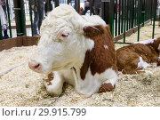 Корова породы казахская белоголовая. Стоковое фото, фотограф Галина Савина / Фотобанк Лори