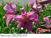 Купить «Лилия (лилия дерево) ОТ-гибрид (ориенпеты) Миф (Голиаф), (лат. Myth)», эксклюзивное фото № 29916111, снято 27 июля 2015 г. (c) lana1501 / Фотобанк Лори