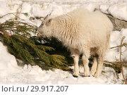 Купить «Снежная коза ест еловую хвою, дополнительный рацион зимой в московском зоопарке», эксклюзивное фото № 29917207, снято 24 февраля 2013 г. (c) Щеголева Ольга / Фотобанк Лори