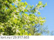Купить «Черемуха на фоне голубого неба», фото № 29917603, снято 9 мая 2018 г. (c) Юлия Бабкина / Фотобанк Лори