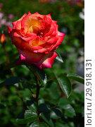 Купить «Роза чайно-гибридная Роксан (лат. Roxane), Laperriere (Лаперье). Франция, 1990 год», эксклюзивное фото № 29918131, снято 14 июня 2015 г. (c) lana1501 / Фотобанк Лори