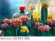 Купить «Кактус Гимнокалициум японский (Gymnocalycium Facilisis)», фото № 29951383, снято 3 февраля 2018 г. (c) Татьяна Белова / Фотобанк Лори