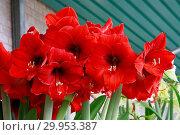 Купить «Hippeastrum Olaf, amaryllis», фото № 29953387, снято 5 июня 2020 г. (c) age Fotostock / Фотобанк Лори