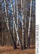 Купить «Bright white trunks of birches in autumn park. Sunny day. Yellow fallen leaves on ground.», фото № 29960923, снято 13 ноября 2018 г. (c) Наталья Николаева / Фотобанк Лори