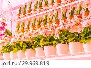 Купить «Pots of geraniums are on the shelf in a large flower shop.», фото № 29969819, снято 16 января 2019 г. (c) Акиньшин Владимир / Фотобанк Лори