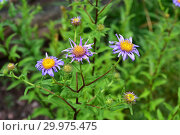 Купить «Pyrenean aster (Aster pyrenaeus) is a endangered perennial herb endemic to Pyrenees and Cantabrian Mountains. Flowering plant.», фото № 29975475, снято 14 июля 2018 г. (c) age Fotostock / Фотобанк Лори