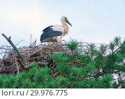 Купить «The stork sits in its nest high on a pine tree with beautiful green needles», фото № 29976775, снято 21 июля 2018 г. (c) Алексей Маринченко / Фотобанк Лори