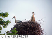 Купить «A family of storks in their nest, sitting high on a pole near the maple», фото № 29976799, снято 29 июля 2018 г. (c) Алексей Маринченко / Фотобанк Лори