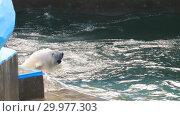 Купить «Polar bear playing in water», видеоролик № 29977303, снято 30 октября 2018 г. (c) Игорь Жоров / Фотобанк Лори
