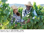 Купить «Winemakers checking grapes quality», фото № 29978275, снято 12 июля 2018 г. (c) Яков Филимонов / Фотобанк Лори