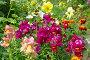 Купить «Львиный зев крупноцветковый (лат. Antirrhinum) цветет в саду», фото № 29979007, снято 22 июля 2018 г. (c) Елена Коромыслова / Фотобанк Лори