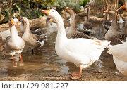Domestic geese on pond. Стоковое фото, фотограф Яков Филимонов / Фотобанк Лори
